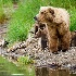 © Kyle Zeringue PhotoID # 6783342: Brown Bear Sow and Four Cubs