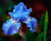 baby blue iris