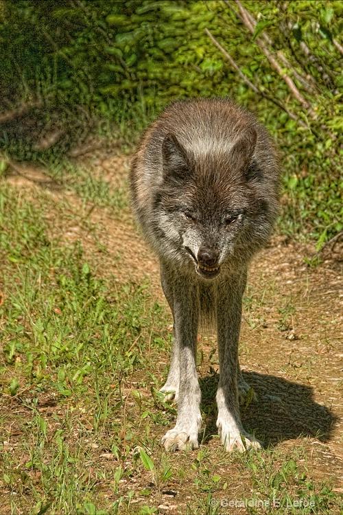 Grey wolf (in captivity)