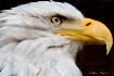 Bald Eagle _51U77...