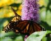 Hungery Monarchs