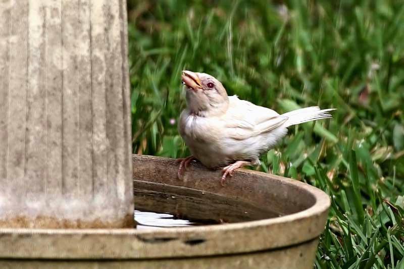 Rare Albino Sparrow