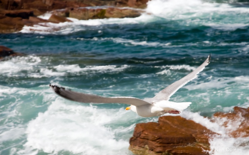 Seagull flying over surf - ID: 6810150 © Ken Cole