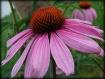 Cone Flower 4