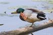 Scratching duck