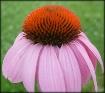 Cone Flower 5