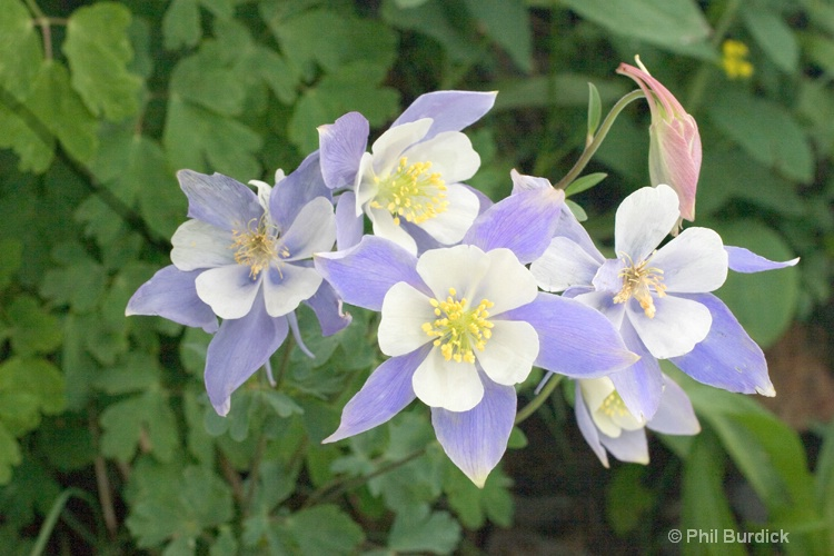 colorado columbine - ID: 6842810 © Phil Burdick