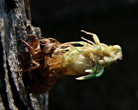 Locust Emerging