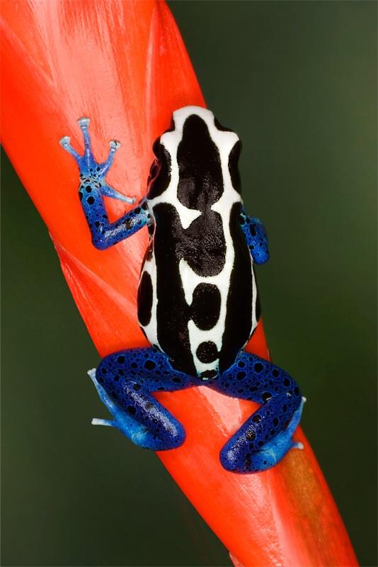 Oyapock poison dart frog (Dendrobates tinctorius)