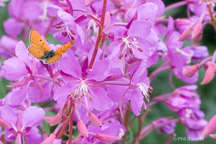 pretty butterfly - ID: 6846161 © Phil Burdick