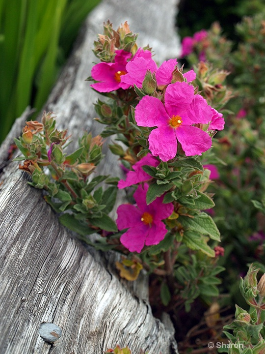 Fence & Flower