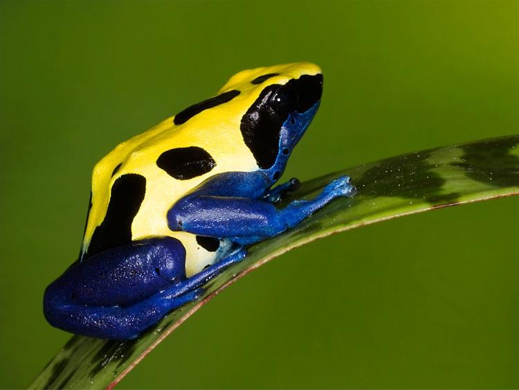 Citronella frog (Dendrobates tinctorius)