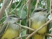young medowlarks