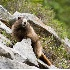 © Patricia A. Casey PhotoID # 6869082: Going to Higher Ground - Marmot