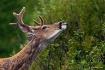 Deer in the Huckl...