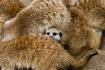 Meerkat heater bl...
