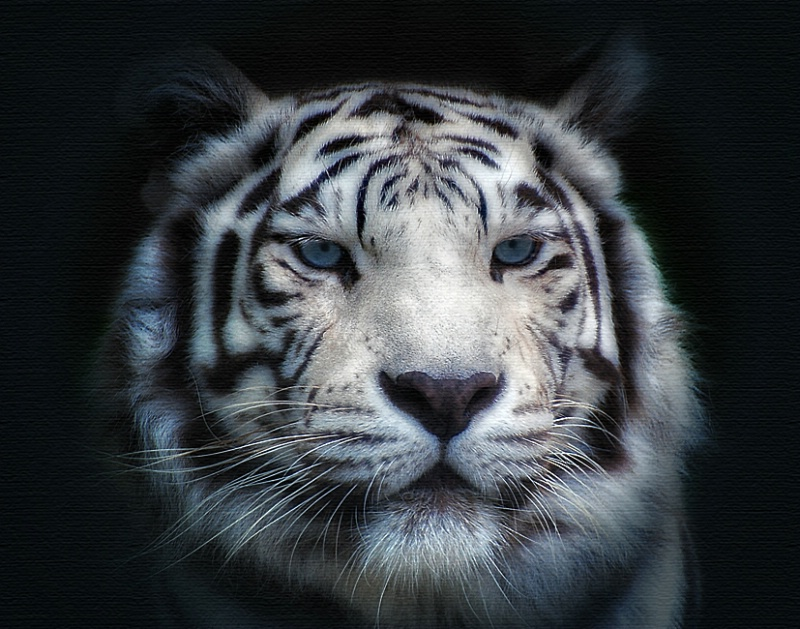 Face to Face with a White Tiger