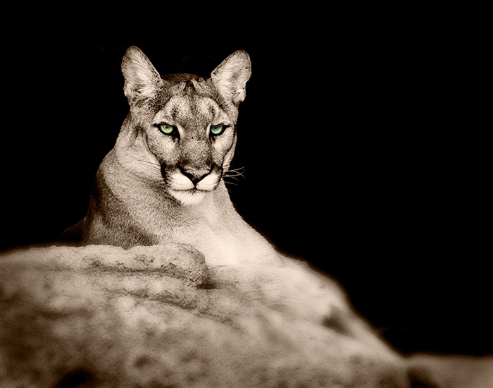 Mountain Lion's Eyes - ID: 6889932 © Sheila Babbie