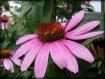 Cone Flower 6