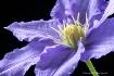 clematis, purple,...