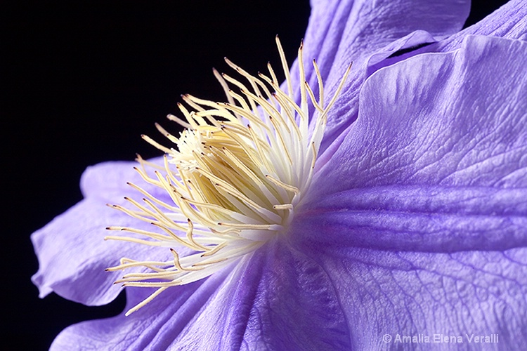 clematis, pink, white, purple, flower, macro