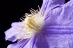 clematis, pink, w...