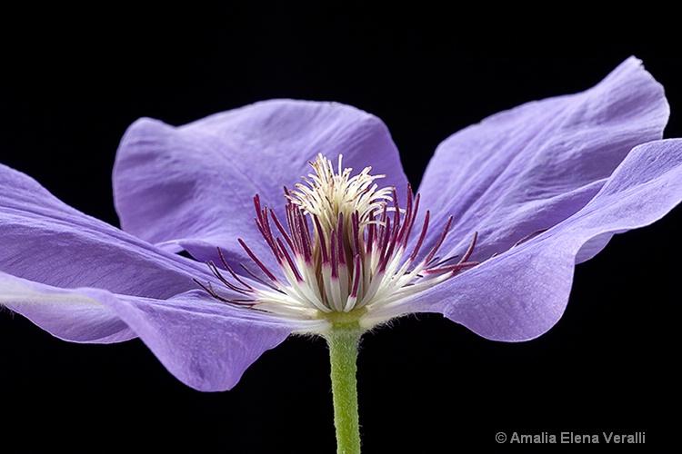 clematis, purple, flower, macro
