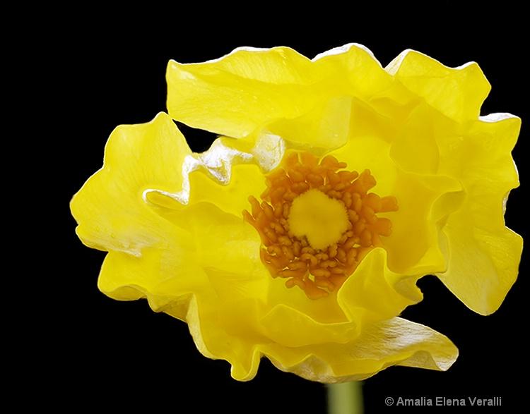 Poppy, yellow, macro, flower