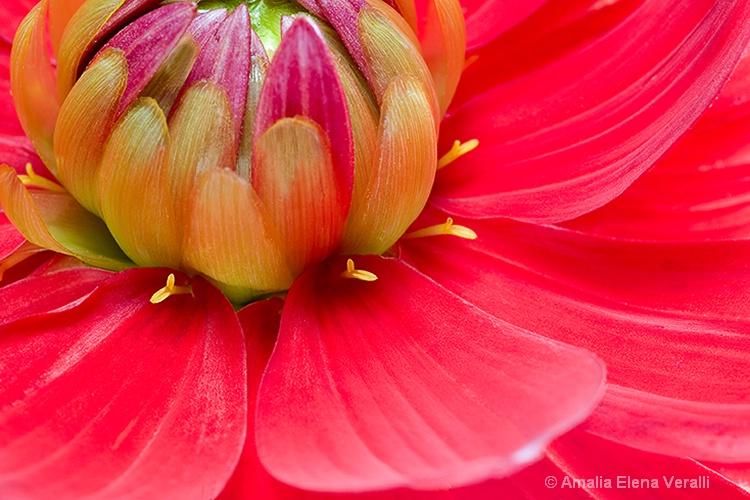 dahlia, pink, red, flower, macro