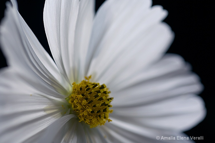 cosmos, white, flower, macro
