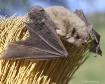 Bat Broom