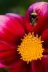 Bee on a Dahlia 2