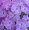 Lavender Flower C...