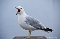Crying ring-billed gull