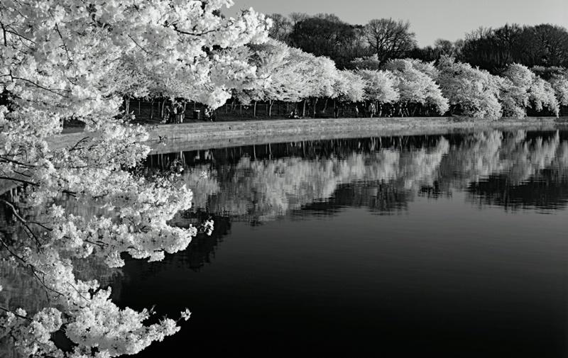 Japanese Cherry Trees, Washington DC Tidal Basin