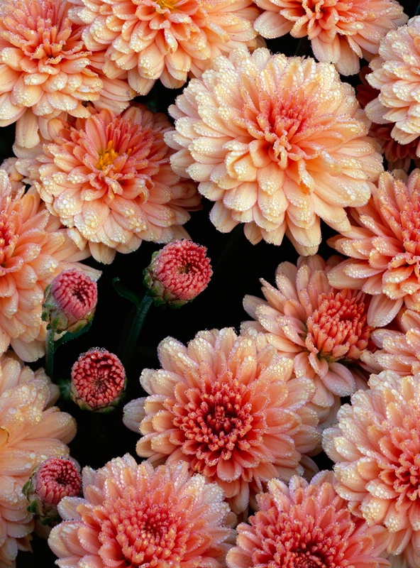 Morning Dew on the Mums
