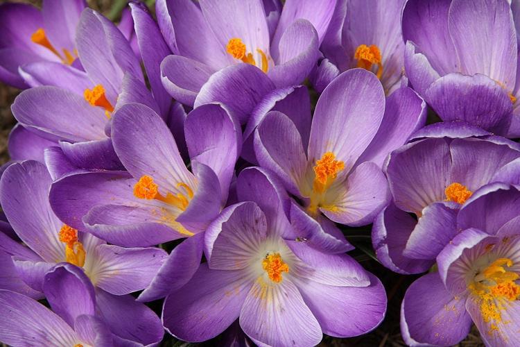 Light purple crocuses' natural bouquet