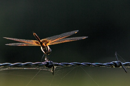 Wired Dragonfly