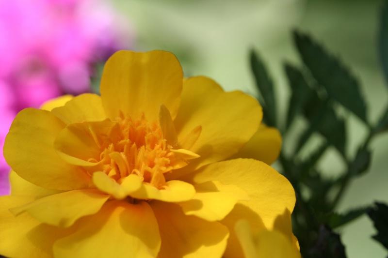 I Love Marigolds