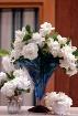 Gardenia Plenty
