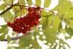 Tree Berrys