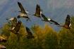 Sandhill Cranes F...