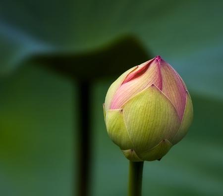 The Last Lotus