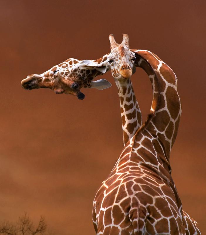 Giraffes  in Motion - ID: 7001490 © Kathy Reeves