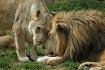 Lion Snuggles