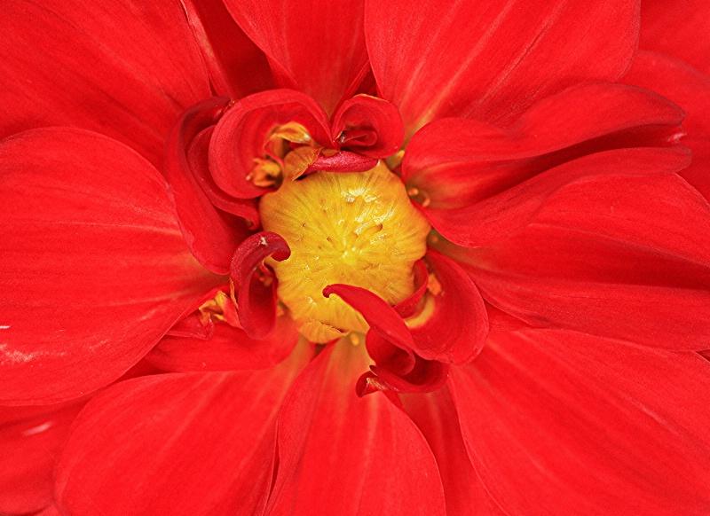 Dahlia Center(flowers)