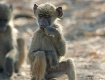 Baboon Baby with ...