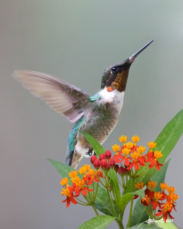 <b>Ruby-Throated Hummingbird On Milkweed