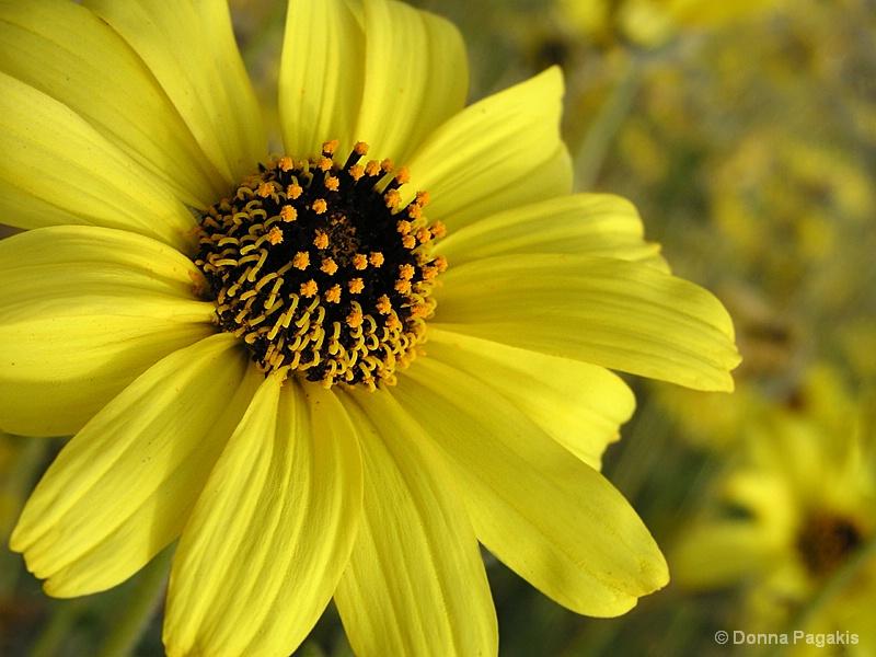 Beach Wildflowers  - ID: 7051965 © Donna La Mattino Pagakis