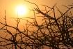 Dawn Acatia Tree